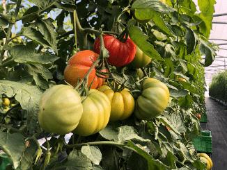 Monterosa se convierte en líder en producción de tomate de verano en Cataluña